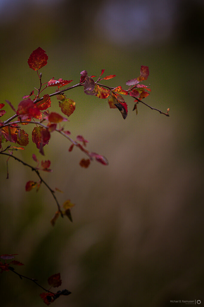 Red autumn leafes