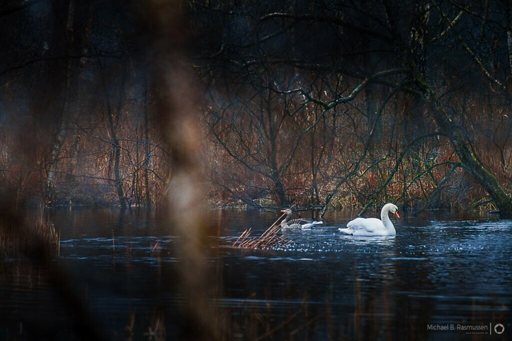 A swan and a geese
