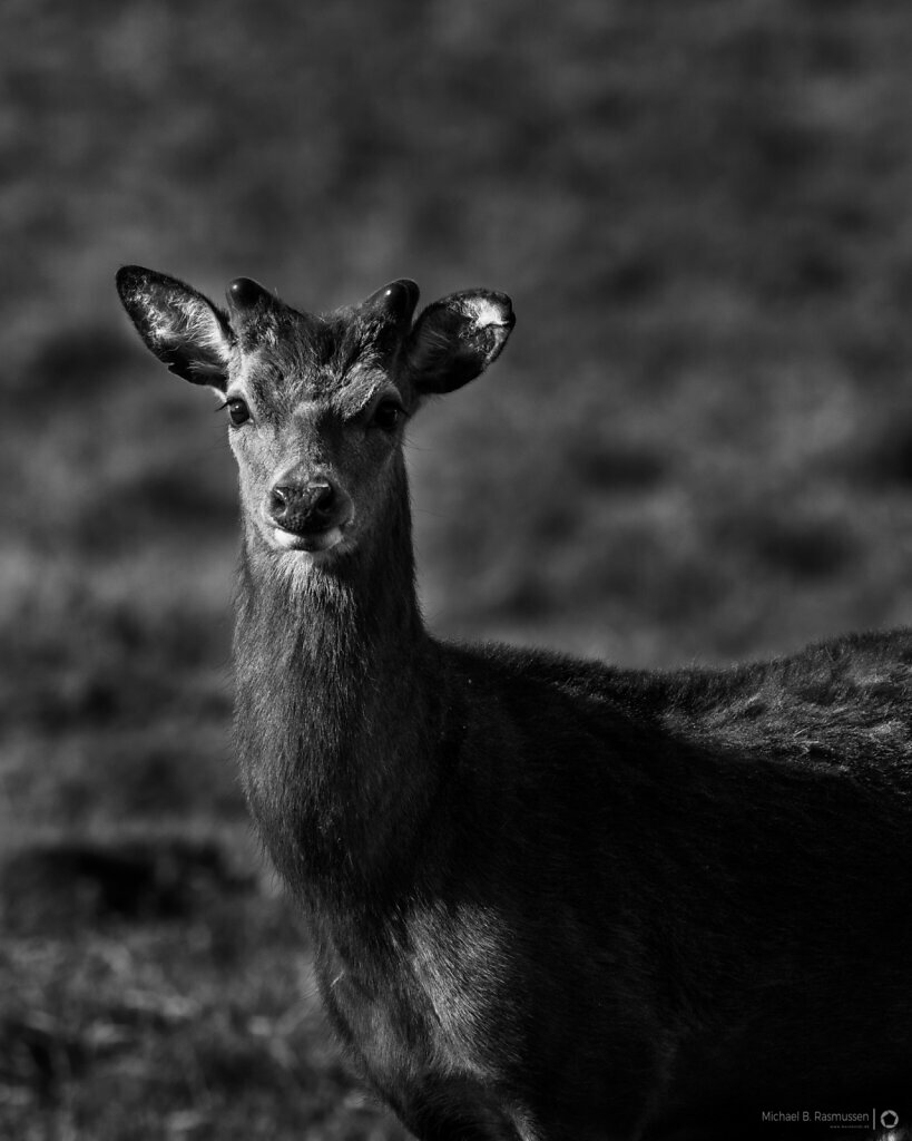 A deer portrait