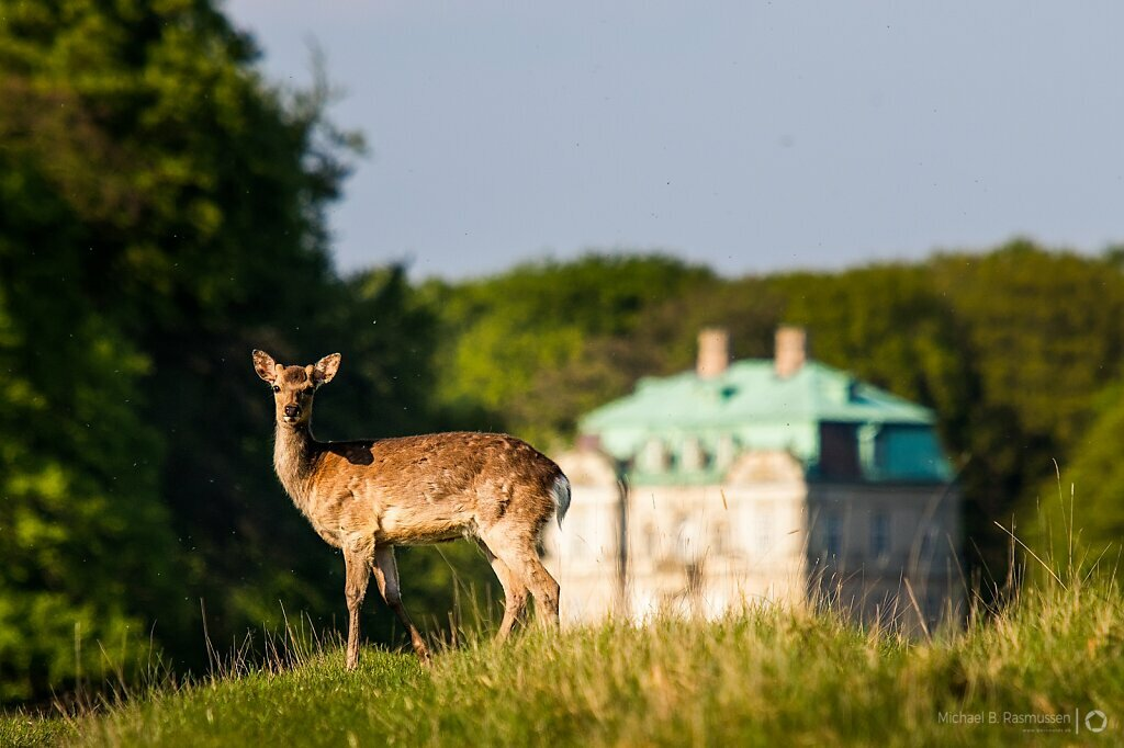 Deer in front of The Hermitage