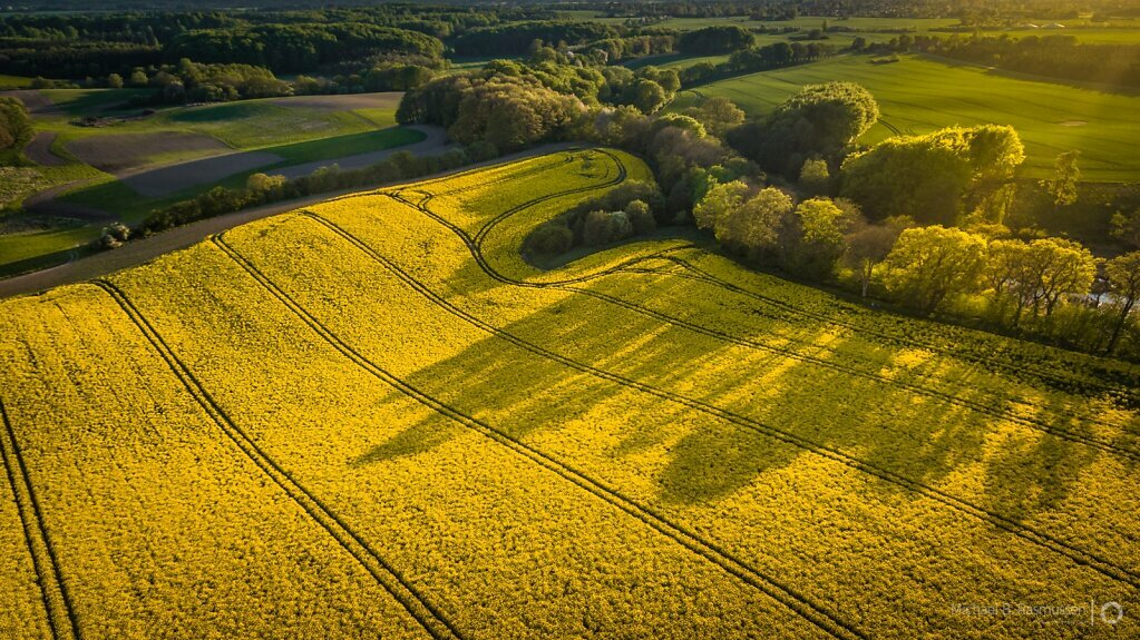 Sunset over rapeseed fields
