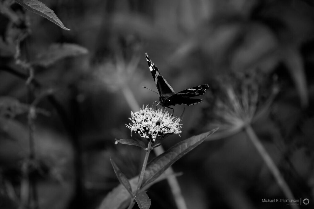 Monochrome butterflies