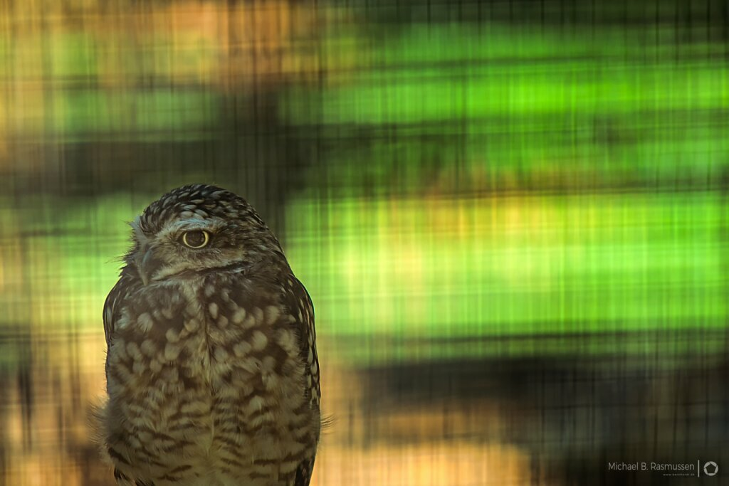 Caged owl
