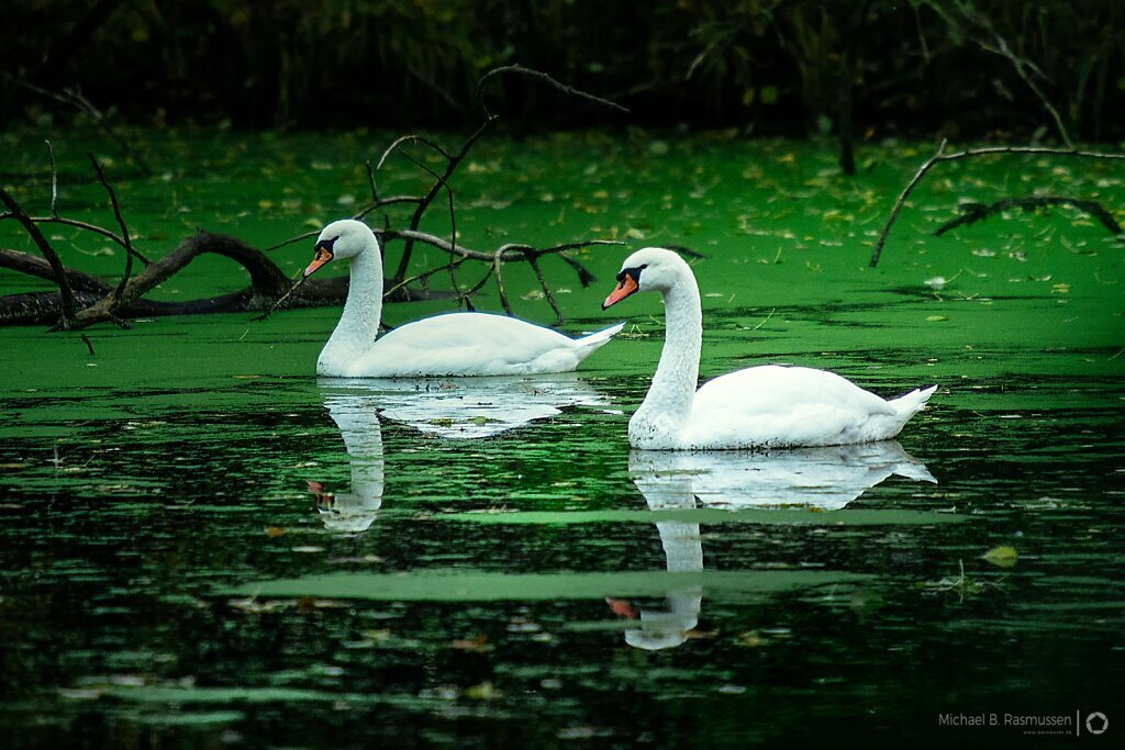 Swans in a sea of green