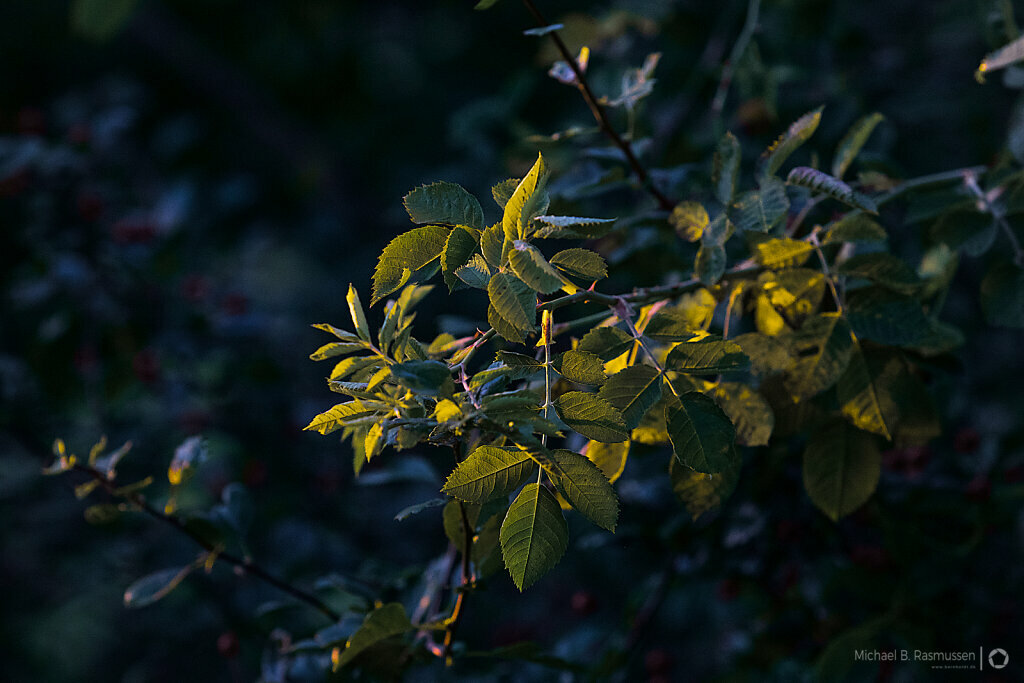 Leafs illuminated by the sun